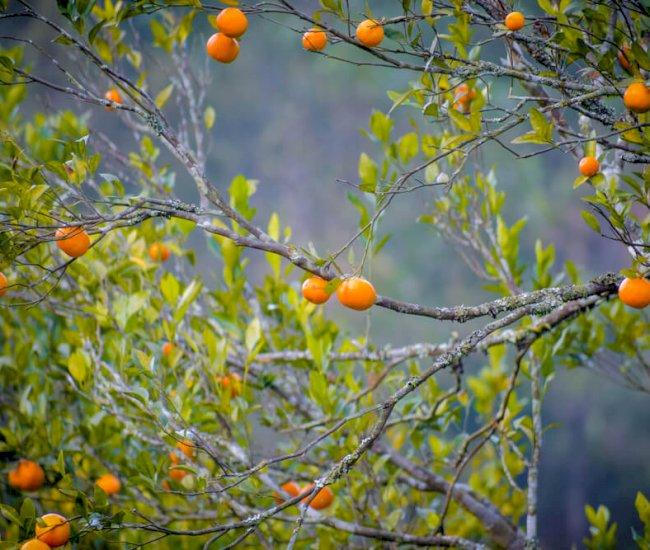 Orange trees in Chotamangwa Tinchulay area